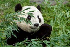 """Résultat de recherche d'images pour """"panda foret bambou"""""""