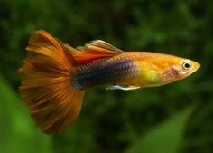 Guppy Fish Care – How to Care for Guppies? Betta Aquarium, Tropical Fish Aquarium, Tropical Fish Tanks, Tropical Freshwater Fish, Freshwater Aquarium Fish, Aquascaping, Fish Breeding, Cool Fish, Fish Care
