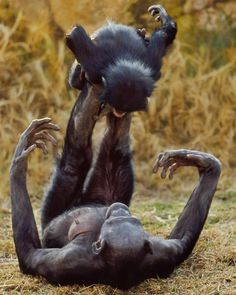 Besides Chimpanzees Bonobo is one of the closest relatives of humans with 98% of similarity in its genetic material. However compared to Chimps Bonobo brains are more developed in areas assumed to be vital for emotions like feeling empathy and sensing distress in others.