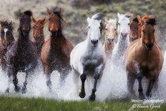 wild horses running in water   Jess Lee Wildlife Photoscowboy Photographerwestern Lifestyle