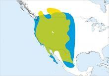 Prairie Falcon Falco mexicanus - Google zoeken
