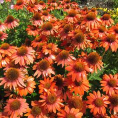Echinacea purpurea Adobe Orange 40-60СМ Из серии «Sombrero (SB)». Цветоносы хор разветв, креп, с большим колич бутонов. Цв оч круп, оранж, с перекрывающ лепестками. Центр больш, конусовид, рыже-коричневый.