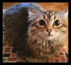 I'll be a good boy 😊  #kitten #iamgorgeous #catlovers #lovecats #catoftheday #instacat #cats #victorthecat #catsofinstagram #siberiancat #catstagram #illbegood #ilovetopose