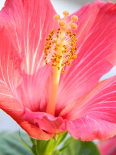 Hibiscus close up