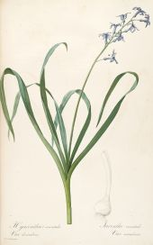 Hyacinth drawing. Welcome to my page about amaryllis, hyacinths and other bulbs www.facebook.com/... #hyacinth #bulb