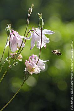 Eine Biene fliegt zu einer rosa blühenden Akelei (Buchtipp: heimische Pflanzen für den Garten)    Mein schönes Land bloggt