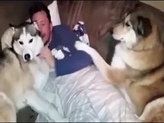 This Jealous Husky Is Not at All Happy to Share the Attention  (VIDEO) - http://viralpx.com
