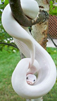 All information about Melanistic Vs Albino Animals. Pictures of Melanistic Vs Albino Animals and many more. The Animals, Yellow Animals, Wild Animals, Les Reptiles, Reptiles And Amphibians, Beaux Serpents, Beautiful Creatures, Animals Beautiful, Majestic Animals