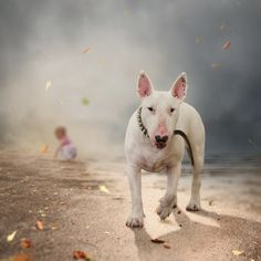 Bull terrier w/baby in background...neat picture