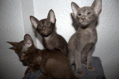 OKH Kitten (Münster, Westfalen) - Orientalische Kurzhaar - dhd24.com