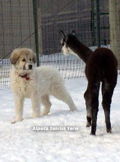 HUACAYA CRIA. Alpaca Sunrise Farm is a full-service Alpaca farm since 1998 • Alpaca sales • breeding • boarding • Alpaca raw fiber, yarn, roving sales for knitters, crocheters, weavers and fiber artists. www.AlpacaSunrise.com #alpaca #alpacas Sunrise Farm, Alpacas, Patagonia, Mammals, Animals And Pets, Drama, Horses, Artists, Wool