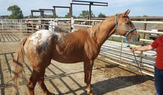 #9376 - 3 yr old gelding, 14.3 hh. Green broke, and very handsome! Price: $600 PayPal - mcbarronhorses@yahoo.com - choose Goods & Services option, and include the assigned # of the equine you're purchasing. Also be sure to include your name, email address, and phone #. Echecks not accepted. Location: Kaufman County, Texas (Forney) Shipping Deadline: Sunday, Oct 4th - 4 pm