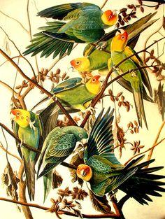 Periquitos de Carolina (Conuropsis carolinensis) visto por última vez en 1920. Dibujado por John James Audubon (1785-1851). Mediante la disposición de pigmentos en diversas capas plasmó la textura de las plumas. Dibujándolas cuidadosamente con grafito brillante, consiguió reflejar su iridiscencia.