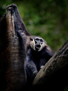Bornean gibbon by Irawan Subingar on 500px
