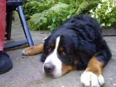 Duras Onze Berner Sennen  hond
