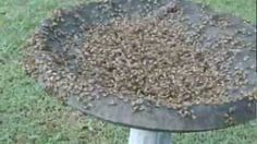 Feeding Tea Tree Oil To Bees to Kill Mites (The Homestead Survival) - HomeSteading Ideas 2019 Permaculture, Raising Bees, Raising Chickens, Backyard Beekeeping, I Love Bees, Homestead Survival, Hobby Farms, Save The Bees, Tea Tree Oil