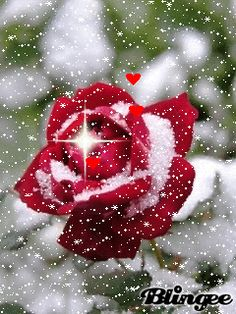 Blooming in the cold snow Beautiful Love Pictures, Romantic Pictures, Beautiful Gif, Beautiful Rose Flowers, Flowers Gif, Beautiful Flowers, Rosas Gif, Beau Gif, Rose Images
