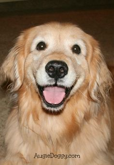 Now that's a happy face. big dogs, i love dogs, cute dogs, Big Dogs, I Love Dogs, Cute Dogs, Happy Animals, Cute Animals, Funny Animals, Sports Illustrated, Dogs Golden Retriever, Golden Retrievers