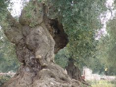 This tree was planted by the Romans. It grows in Puglia, southern Italy.