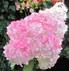 Hydrangea paniculata 'Pink Lady' Hortensia Hydrangea, Hydrangea Paniculata, Hydrangeas, White Gardens, Types Of Flowers, Begonia, Pink Lady, Clematis, Compost