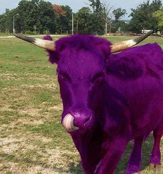 """""""I never saw a purple cow, i never hope to see one; but i can tell you any how, I'd rather see than be one!"""""""