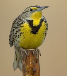I really want to see a meadow lark someday