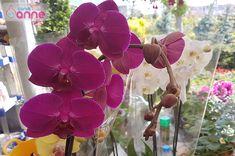 Orkide Bakımı, Çoğaltımı, Saksı Değişimi, Kurtarma, Çiçek Açtırması Nasıl Yapılır ?