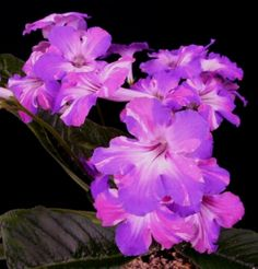 f28619e9a32eed571a6a2182dd6fcc44--plants-indoor-indoor-gardening False African Violet Houseplant on succulents houseplants, foliage houseplants, peace lily houseplants, bromeliads houseplants, begonia houseplants, palms houseplants, flowers houseplants, dieffenbachia houseplants, cactus houseplants, philodendrons houseplants, ferns houseplants, ivy houseplants,