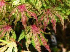 Kigi Nursery - Acer palmatum ' Beni shigitatsu sawa ' Japanese Maple Tree, $20.00 (http://www.kiginursery.com/maples/acer-palmatum-beni-shigitatsu-sawa-japanese-maple-tree/)