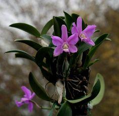 Nome botanico: Cattleya intermedia var.punctata Família : Família Orchidaceae Origem: Brasil   Orquídea de aproximadamente 20 cm de altura , com crescimento simpodial. Suas folhas são achatadas...