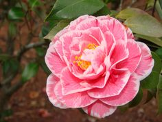 pink camellia with white fringes