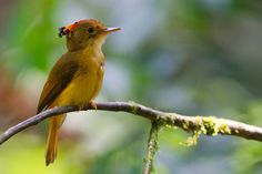 Photo Atlantic Royal Flycatcher (Onychorhynchus swainsoni) by Joao Quental | Wiki Aves - The Encyclopedia of Brazilian Birds