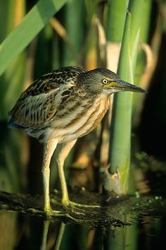 Ixobrychus minutus 3 (by Marek Szczepanek) - Little bittern - Wikipedia, the free encyclopedia