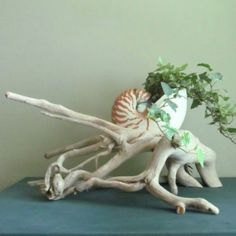 "Features a giant 8"" Tiger Nautilus Shell supported by a beautiful organic driftwood sculpture. The Nautilus sits quite snugly in the embrace of the driftwood sculpture. www.driftingconcepts.com"