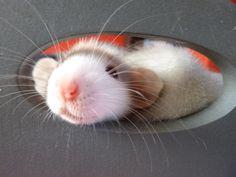 Adorable rattie