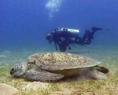 Huge Sea Turtle!!!