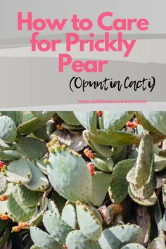 Different species of Opuntia thankfully have similar requirements to grow and thrive in any home garden. On this pin, you'll learn how to care for prickly pear (Opuntia Cacti). Flowering Succulents, Cacti And Succulents, Cactus Plants, Planting Flowers, Opuntia Cactus, Prickly Pear Cactus, Succulent Planter Diy, Succulent Care, Gardening Gloves