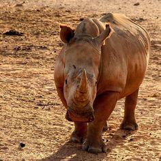 Luke de Villiers _ Photography #Luke de Villiers #Photography #Rasberydays #theotherbarman #Africa Luke, Hippopotamus, Elephant, Africa, Animals, Animales, Animaux, Animal, Elephants