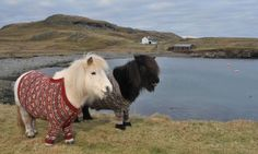 I suspect Rarity's hand in this: Shetland Ponies Fivla and Vitamin pose with their beautifully knitted jumpers.