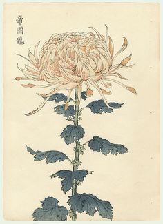японская хризантема фото