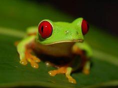 RANE E ROSPI: TUTTE LE SPECIE DEL MONDO [FOTO] - página 2 - Frogs