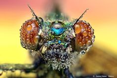 Even without a fresh coat of rain, the most ferocious insect is pretty stunning when you get up close and personal.