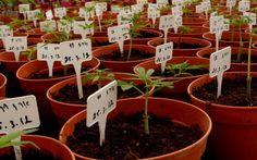 Baby cannabis plants at Tikun Olam's facility in Israel. (Photo: Tikun Olam/Facebook)