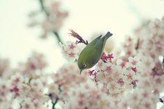 Bird chirping in plum blossom tree, taken in Kitanomaru Park in Tokyo.