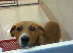 Animal ID # is 44845 I am a MALE, PEN 188 - LABRADOR The shelter thinks I am 4 months old. I will be available for adoption starting on 04/24/2015  Comments:  Call the Shelter for more information 770-339-3200. https://www.facebook.com/helpgcanimals/photos/a.254141721304840.79268.177022222350124/927779877274351/?type=3&theater