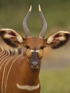 Bongo, among the largest of the African forest antelope species, are threatened by logging and poaching.