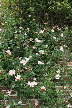 Buy rose Albertine (rambler) Rosa 'Albertine': Delivery by Crocus.co.uk