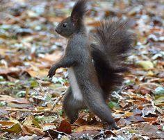 Un écureuil qui marche !