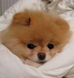 Conheça o Boo, o lulu da pomerania mais fofo do facebook - Fotos - R7 Mulher