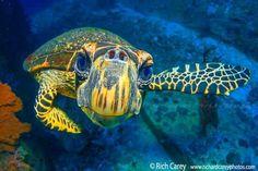 Curious Sea Turtle <3